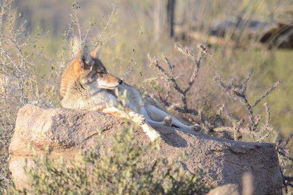 The Arizona-Sonora Desert Museum Coyote.jpg