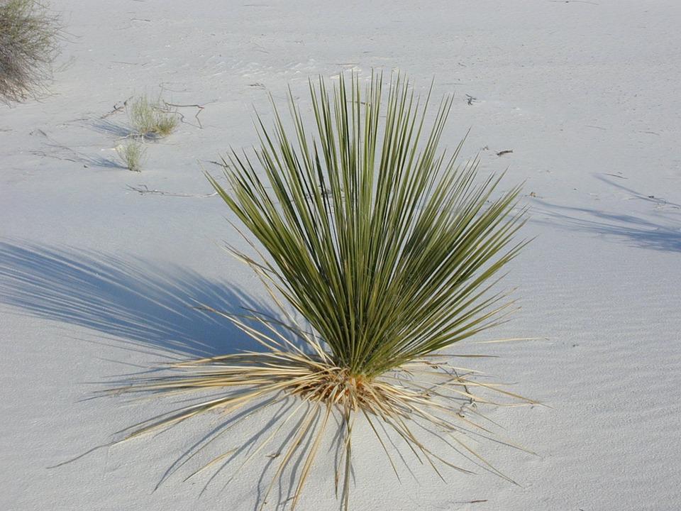 White-Sands-Desert-Grass-Desert-Plant-Plant-245672.jpg