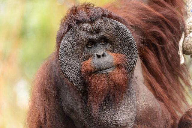 Male_Bornean_Orangutan_-_Big_Cheeks.jpg