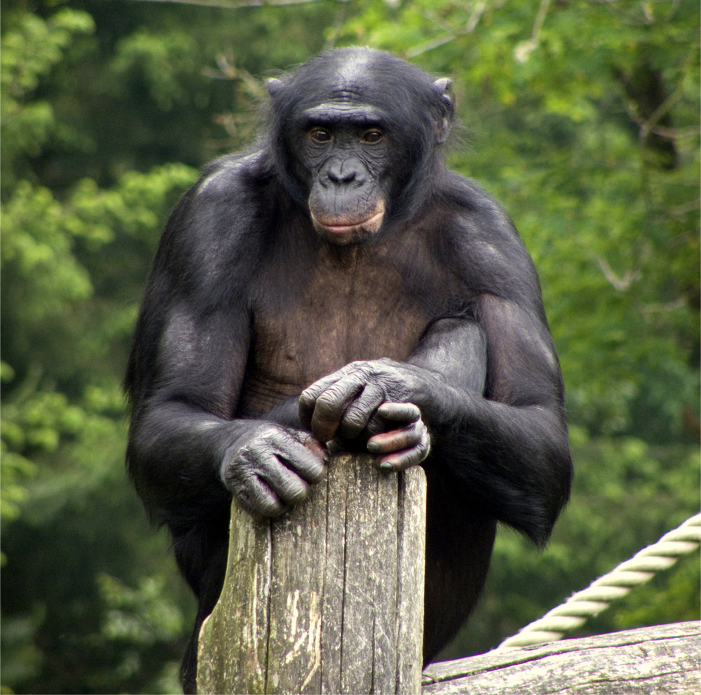 Apeldoorn_Apenheul_zoo_Bonobo.jpg
