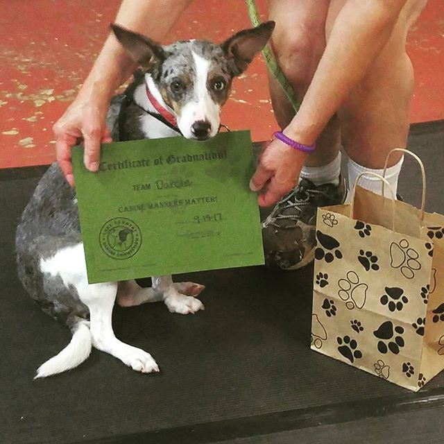 Our newest Canine Manners Graduate, Darcie!  #widogtraining #clickertraining #waukeshadogtraining