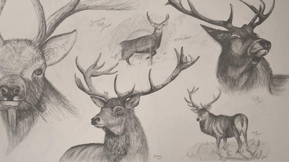 Deer Studies