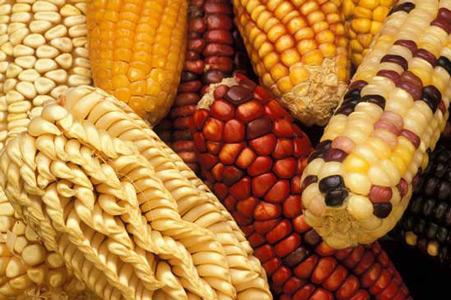 Native American corn 2.jpg