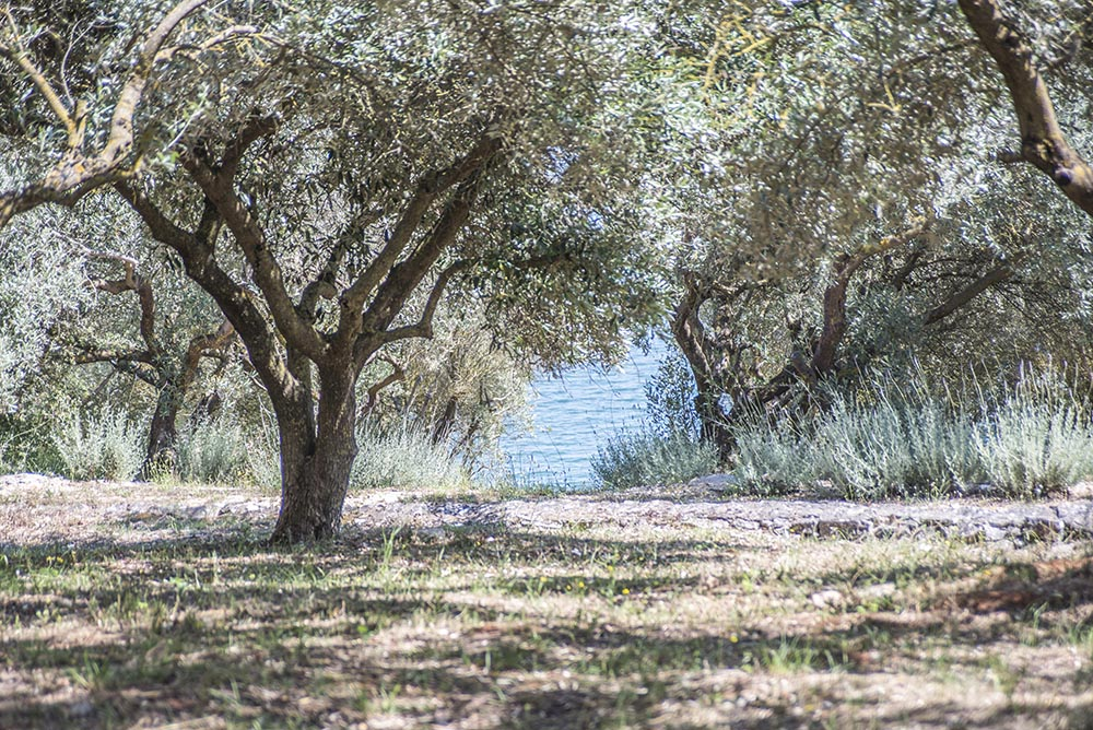 olive-grove-by-the-sea.jpg