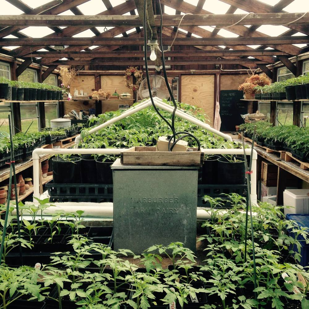 tomato plants in greenhouse.jpg