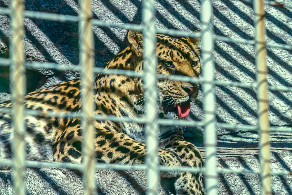 Caged Beauty: Leopard, Milwaukee County Zoo