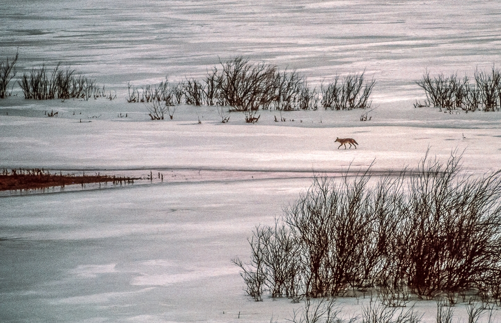 Lone Coyote Walks Frozen Road, Cow Springs, Navajo Nation, Arizona