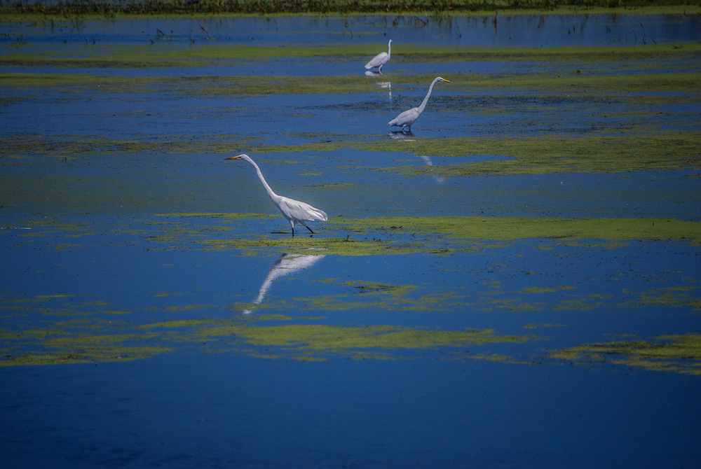 Egrets Feed Reading the Fertile Waters of Wisconsin's Horicion Marsh