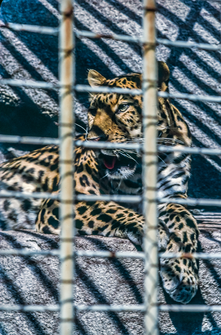 Caged Leopard, Milwaukee County Zoo, Wisconsin