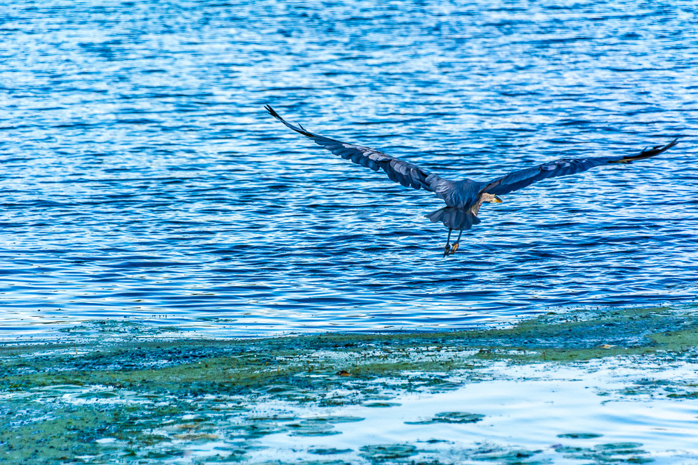 Great Blue Heron Fishes Green Lake's Mill Pond