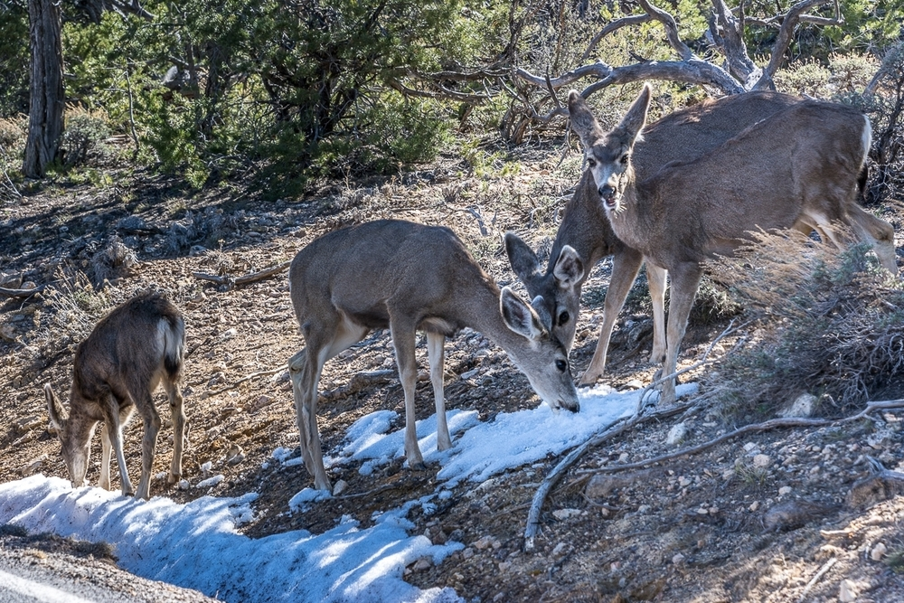 GRAND CANYON WATER-STARVED DEER: FEBRUARY 2016