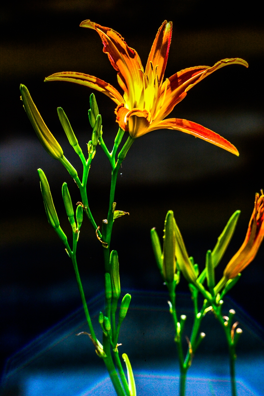 DAY LILY'S DANCE