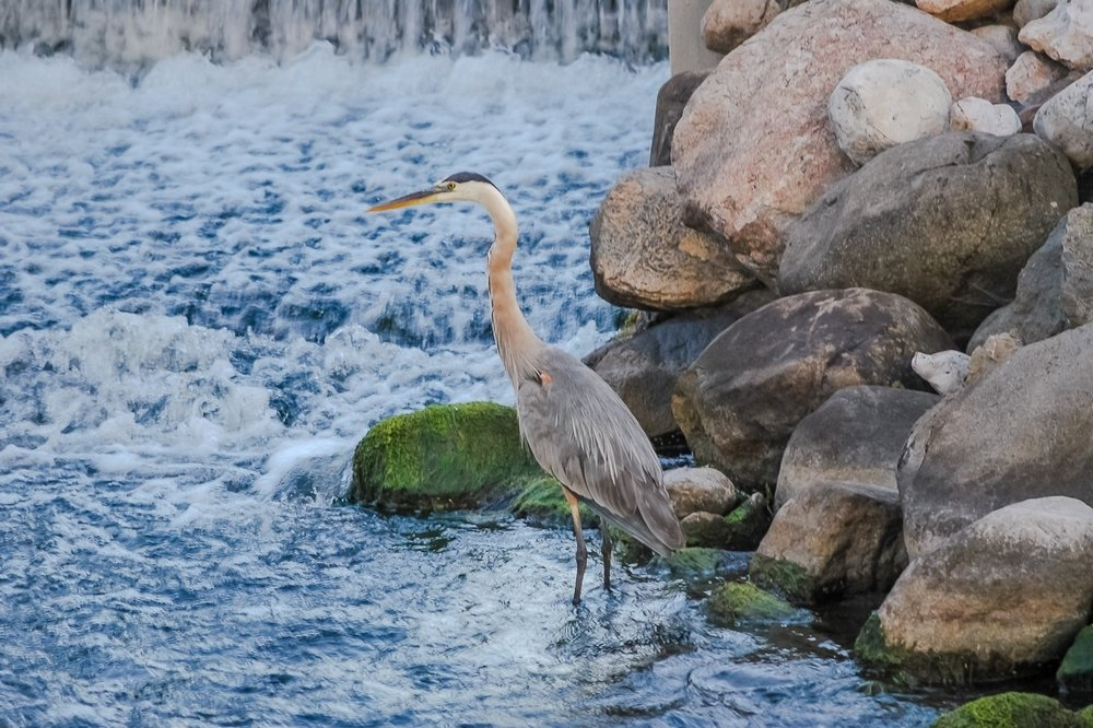 Great Blue Heron with Wing Wound Feeds in Green Lake's Rapids