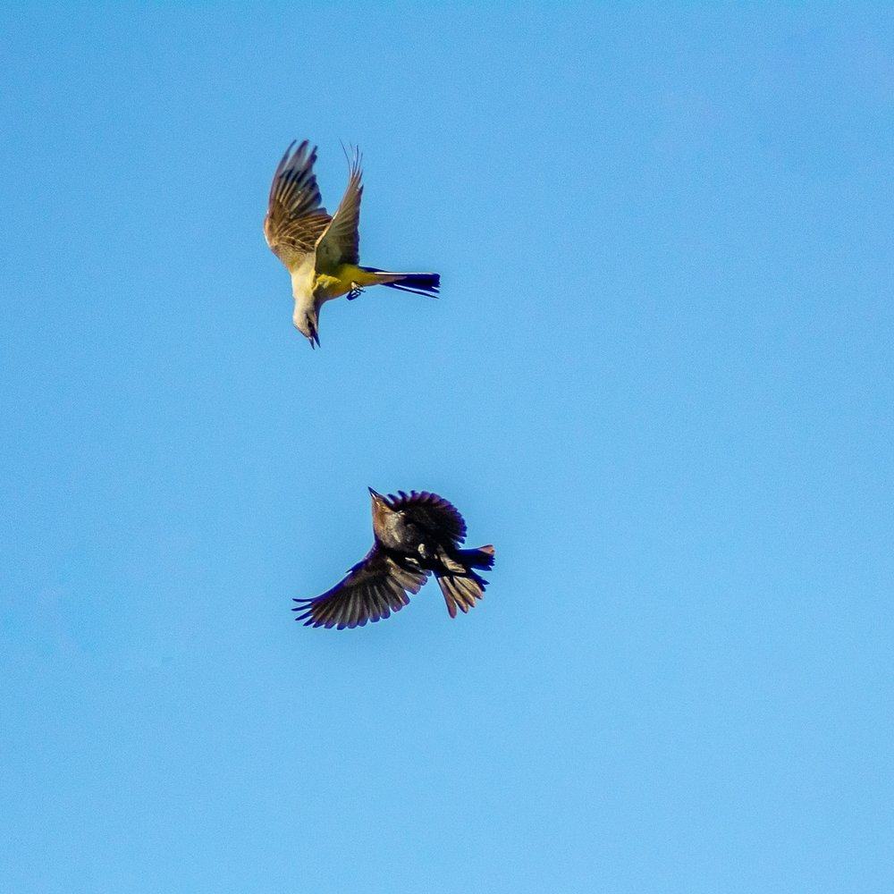 WESTERN KINGBIRD ATTACKS NEST-INVADER OVER NAVAJO NATION OASIS (2018)
