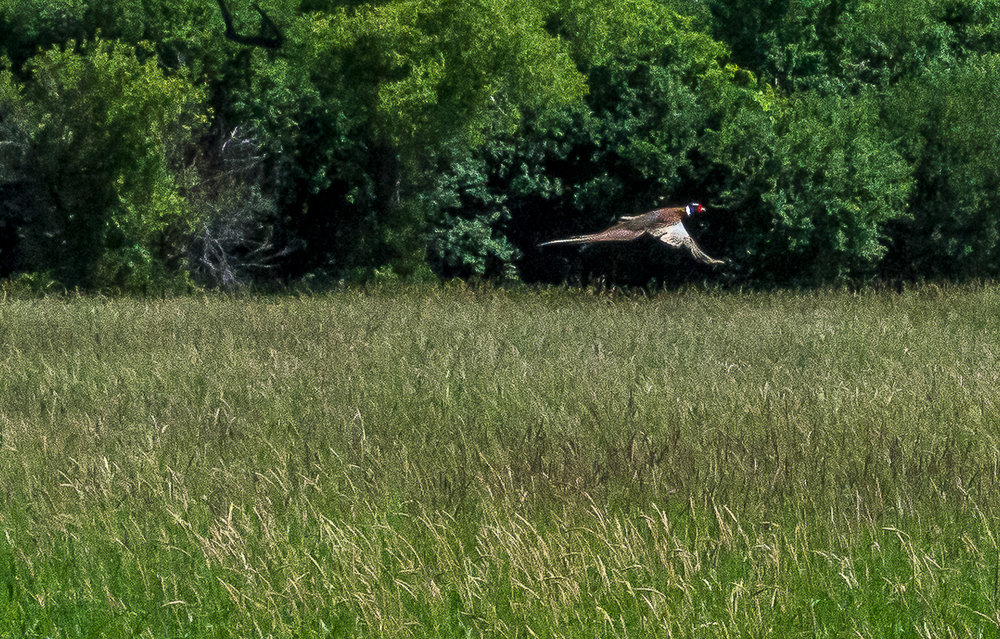 RING-NECKED PHEASANT IN FLIGHT, Green Lake County, Wisconsin (2016)