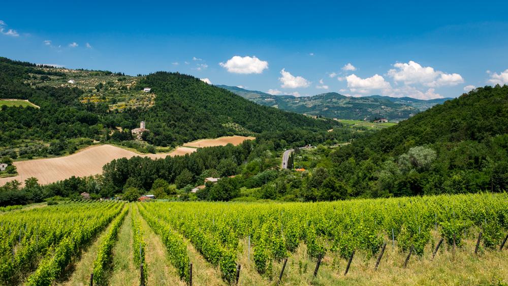 Italy : Tuscany : Selvapiana's vines in Chianti Rufina