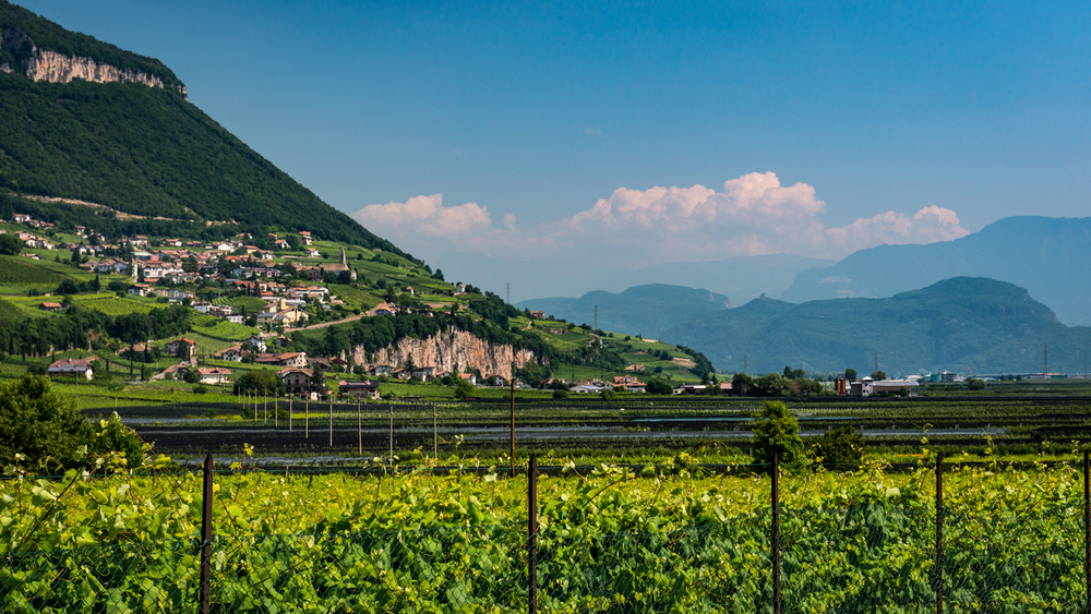 Italy : Alto Adige : Vineyards in Margreid