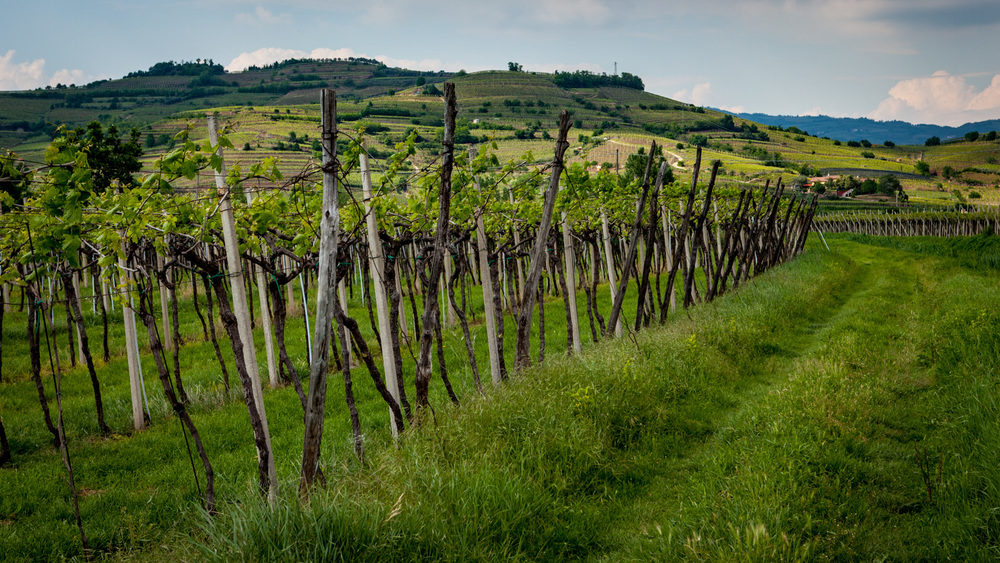 Italy : Veneto : Vineyards in the Soave Classico zone, Monteforte d'Alpone