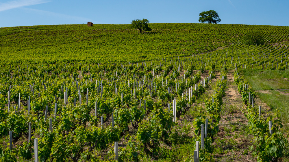 France : Beaujolais : Cote du Py in Morgon