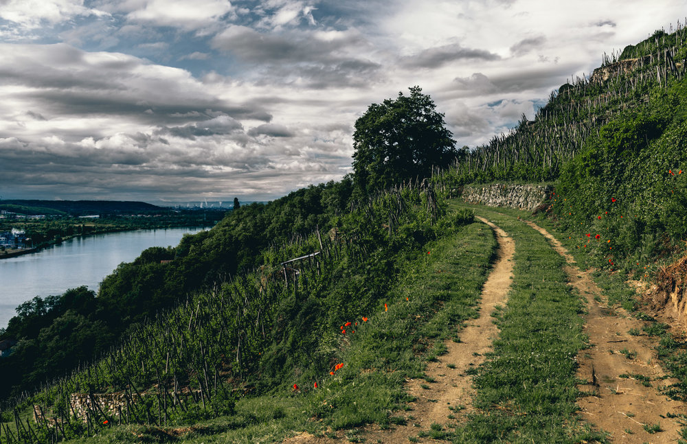 France : Northern Rhone : Condrieu's Clos Boucher vineyard