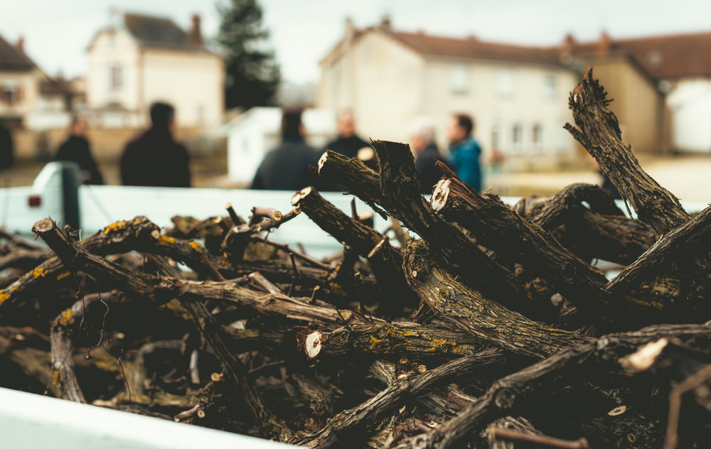 France : Champagne : Vine cuttings at Barnaut in Bouzy