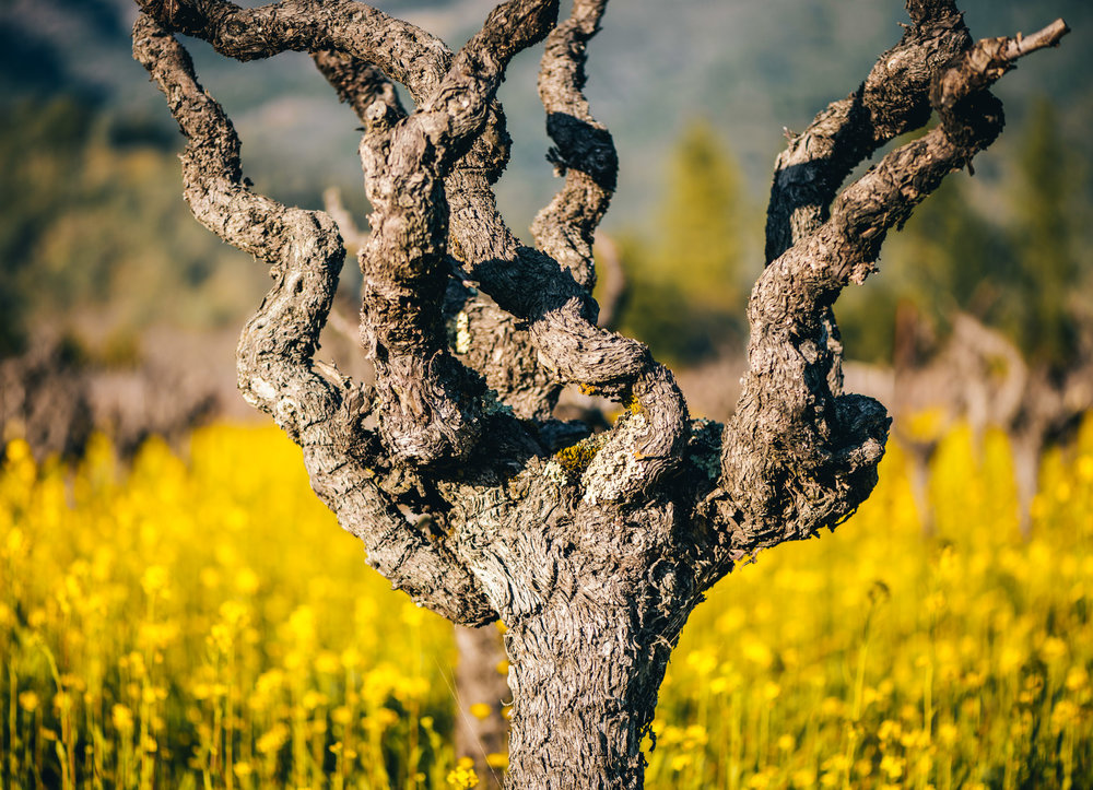 California : Napa Valley : Gnarled vine in Calistoga