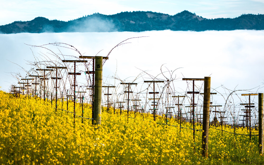 California : Napa Valley : Philip Togni's vineyard on Spring Mountain