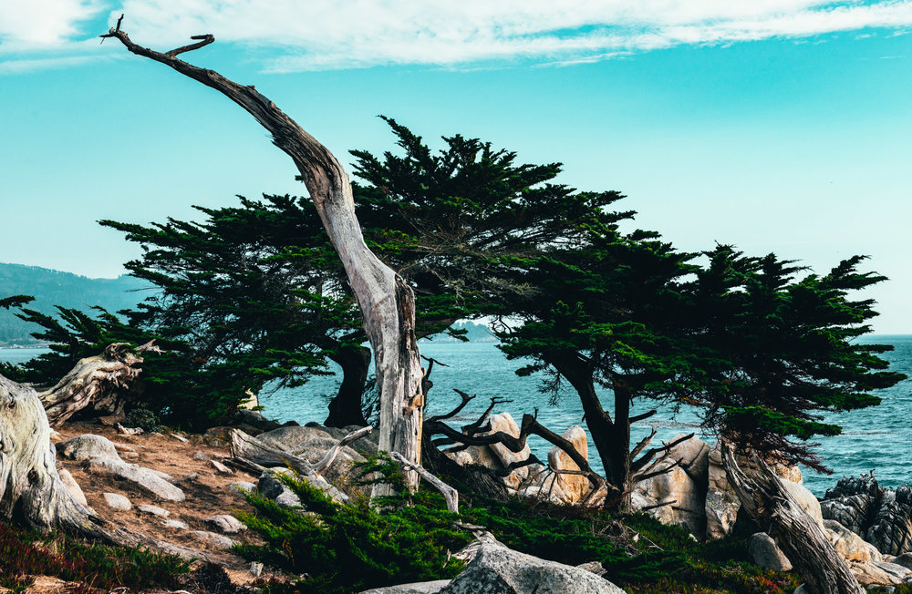 California : Monterey : Ghost Tree