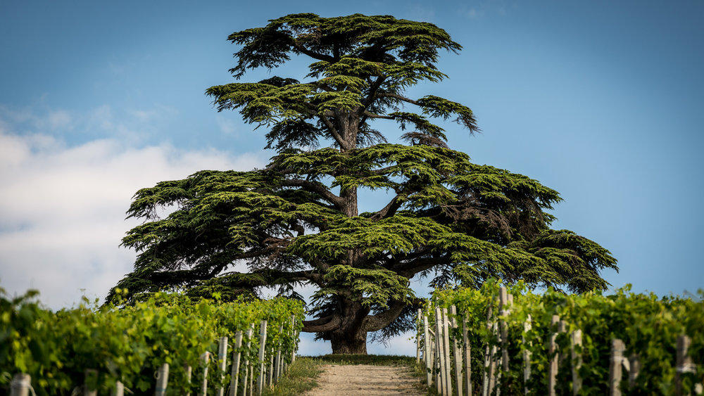 Italy : Piedmont : Il Cedro, the cedar tree of La Morra