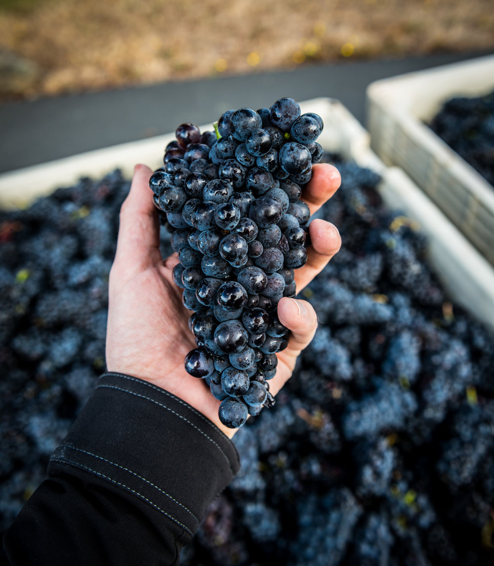 US : Oregon : A perfect Pinot Noir cluster at St. Innocent