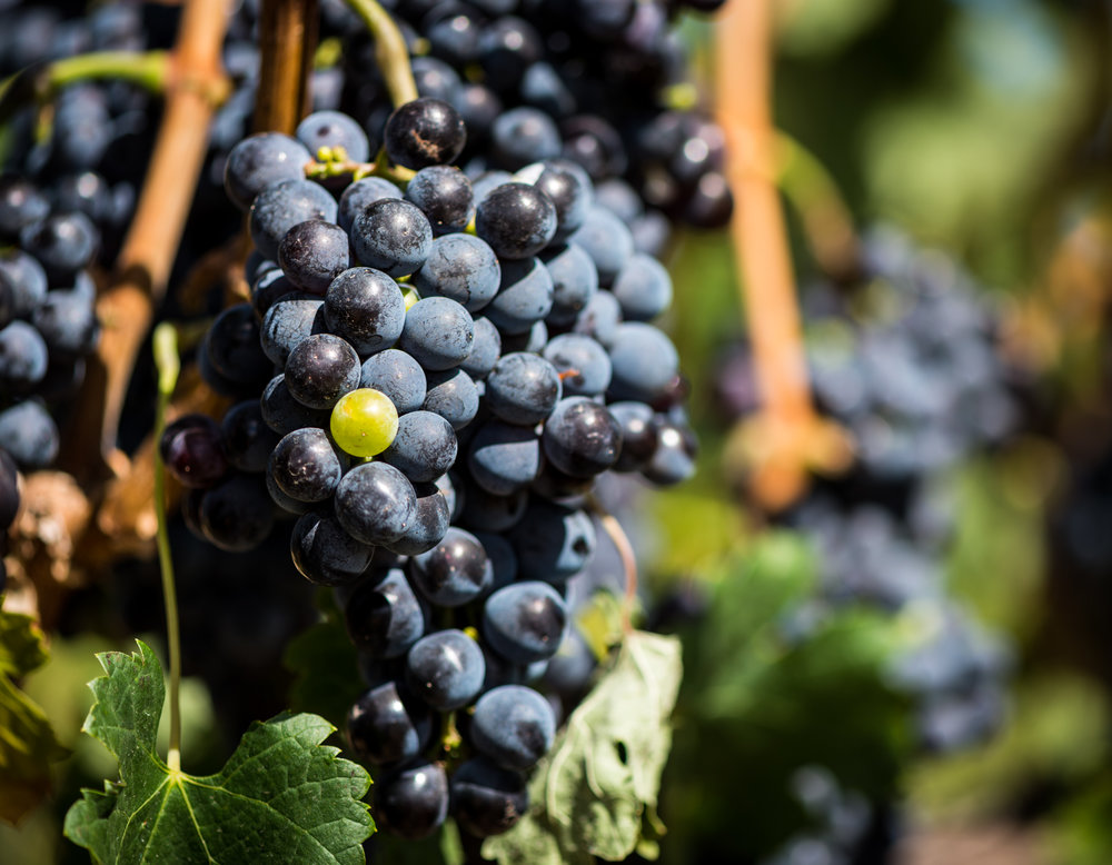 US : Washington : Green grape, black sheep...aMaurice Vineyard, Mill Creek area of Walla Walla