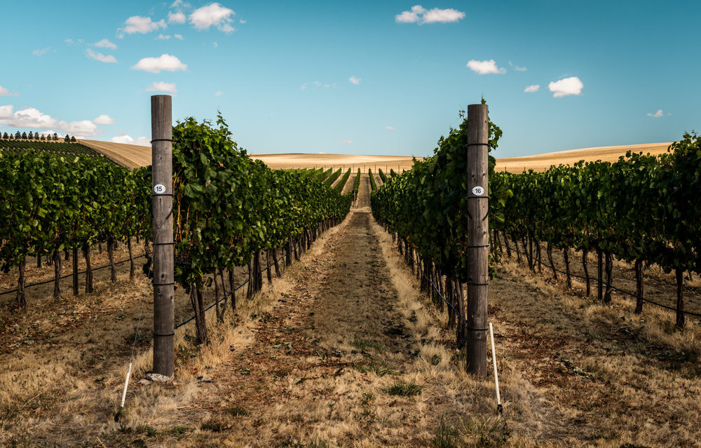 US : Washington : Vineyards at aMaurice Cellars in Walla Walla's Mill Creek area