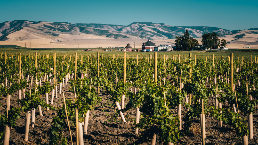 US : Washington : A new vineyard planted in Walla Walla