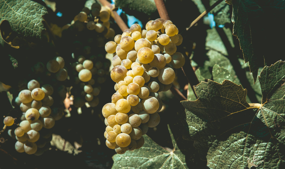 US : Washington : Chardonnay in French Creek Vineyard, Yakima Valley