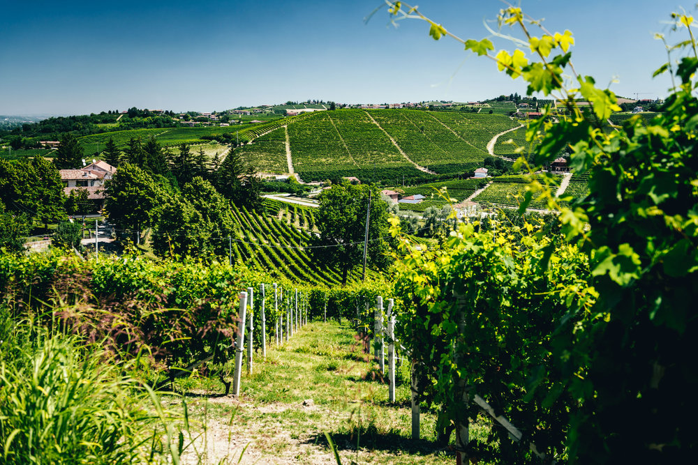 Italy : Piedmont : Ovello vineyard in Barbaresco