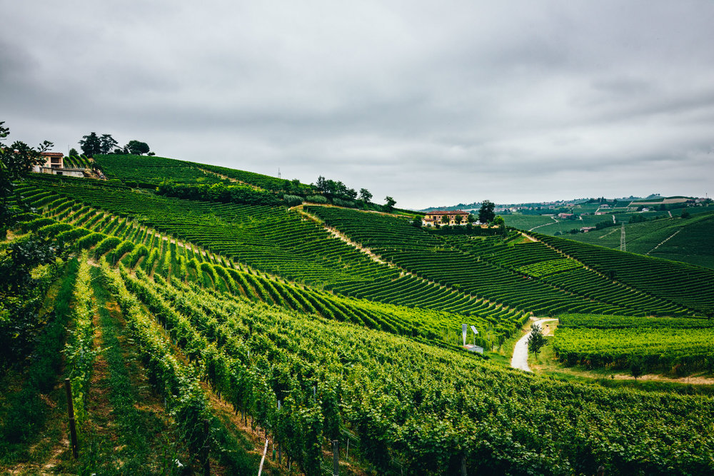 Italy : Piedmont : Montefico vineyard in Barbaresco