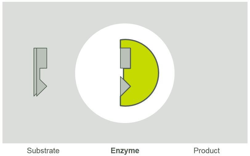 enzyme lock & key graphic.jpg