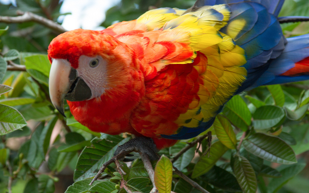 Christian-Schaffer-Costa-Rica-Jungle-Macaw.jpg