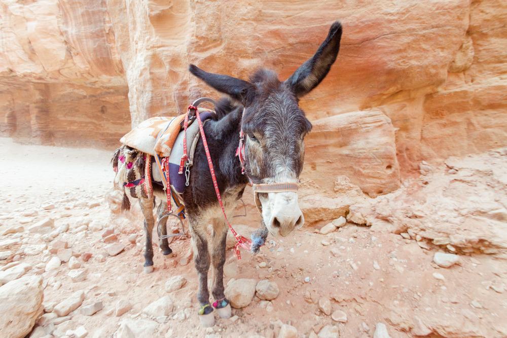 Christian-Schaffer-Jordan-Petra-Donkey.jpg