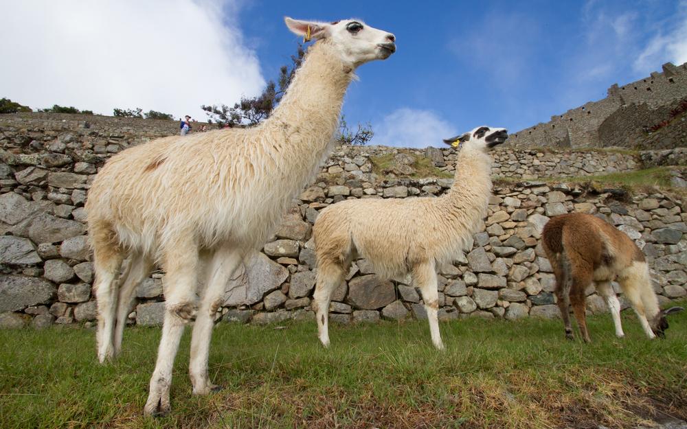 Christian-Schaffer-Peru-Machu-Picchu-Llama-002.jpg
