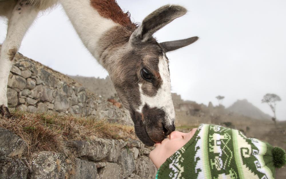 Christian-Schaffer-Peru-Machu-Picchu-Llama-001.jpg