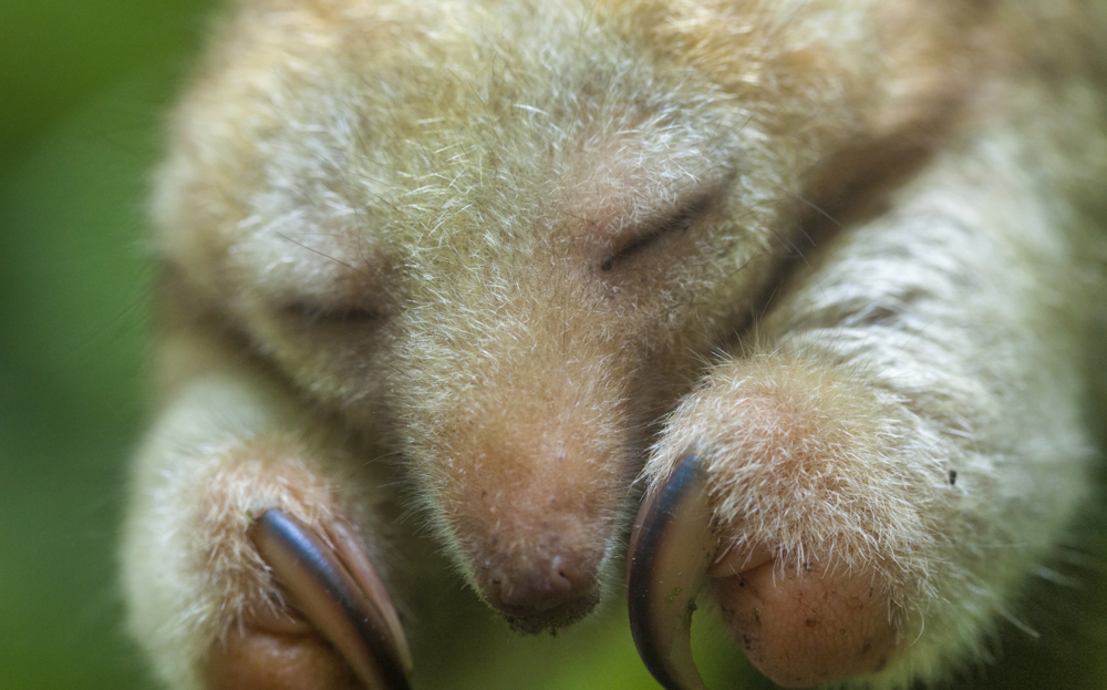 The rare silky, or pygmy anteater