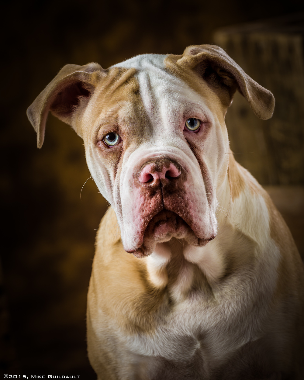 Gotta love those eyes! This is 'Blue', an Olde English Bulldog.