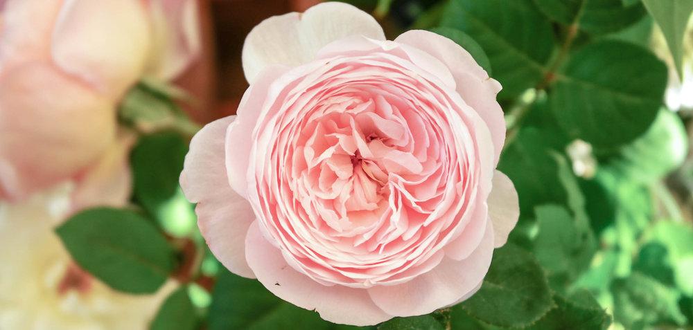 Voyage Rose Mandala  Josephine Roberts