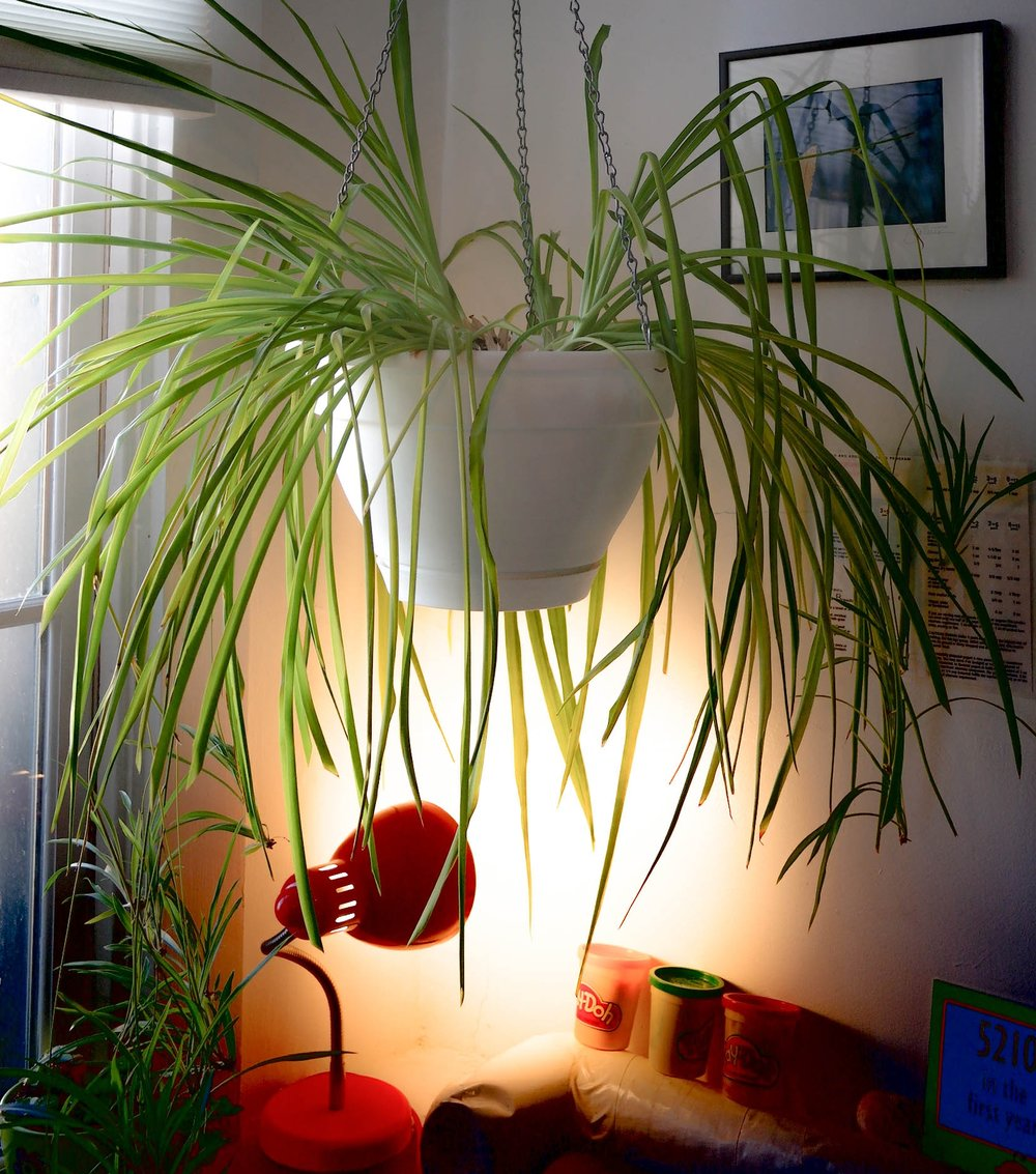 YFO Hanging Spider Plant (1 of 1).JPG
