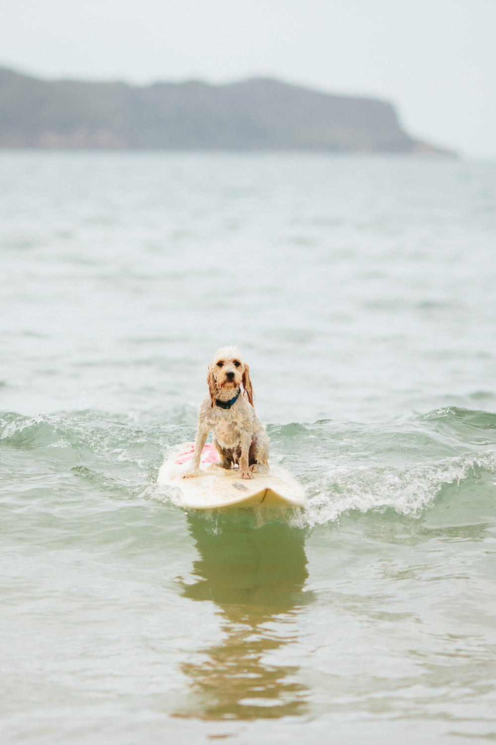 Gnarley Marley surfing cavoodle dog Central Coast-6.jpg