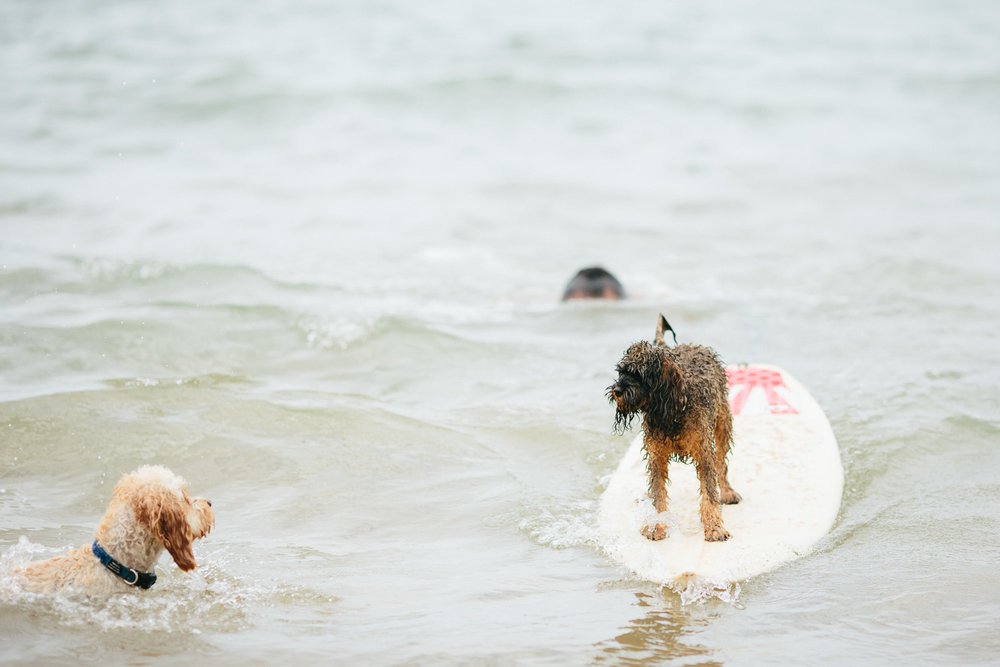 Gnarley Marley surfing cavoodle dog Central Coast-17.jpg