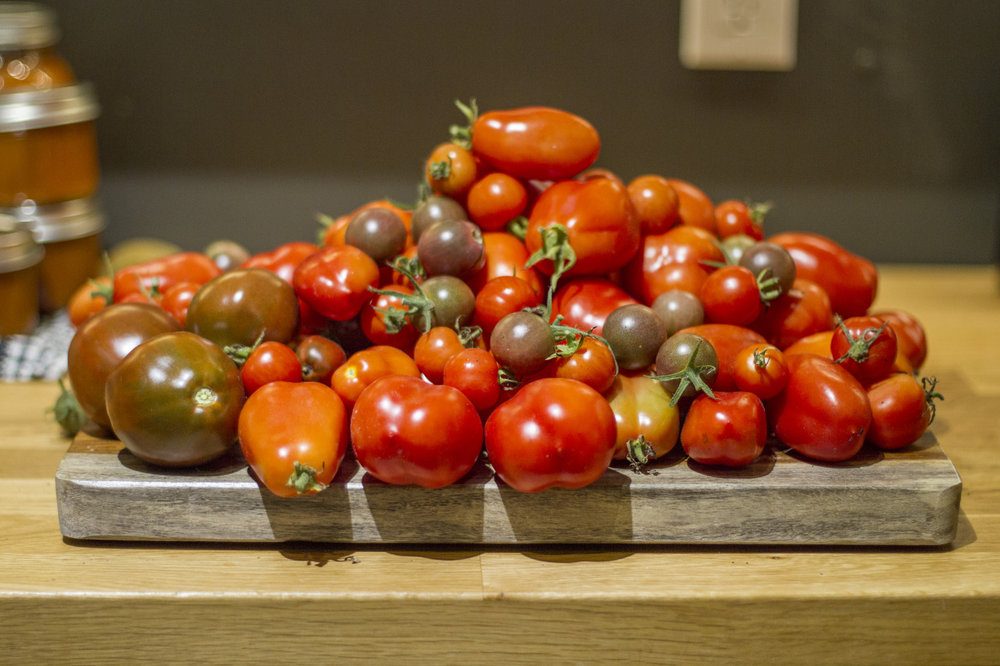Evening tomato harvest.