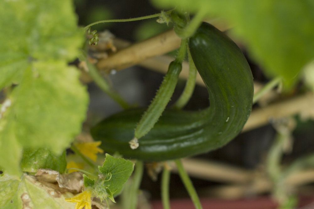 The leaves are looking rough, but the cucumbers are still going strong!