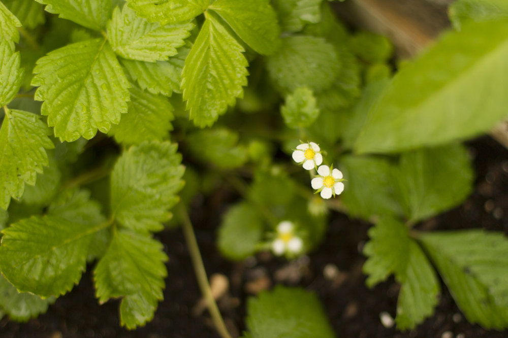 Yay!  The Yellow Wonder strawberry plant is flowering.
